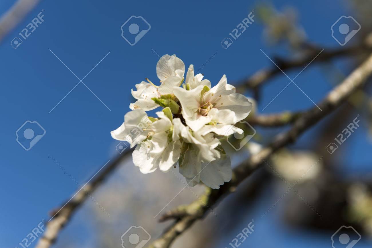 Almendro en flor, Mallorca, Baleares - 27734340
