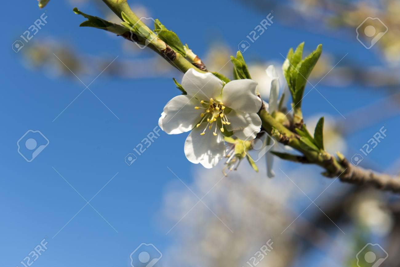 Almendro en flor, Mallorca, Baleares - 27734342