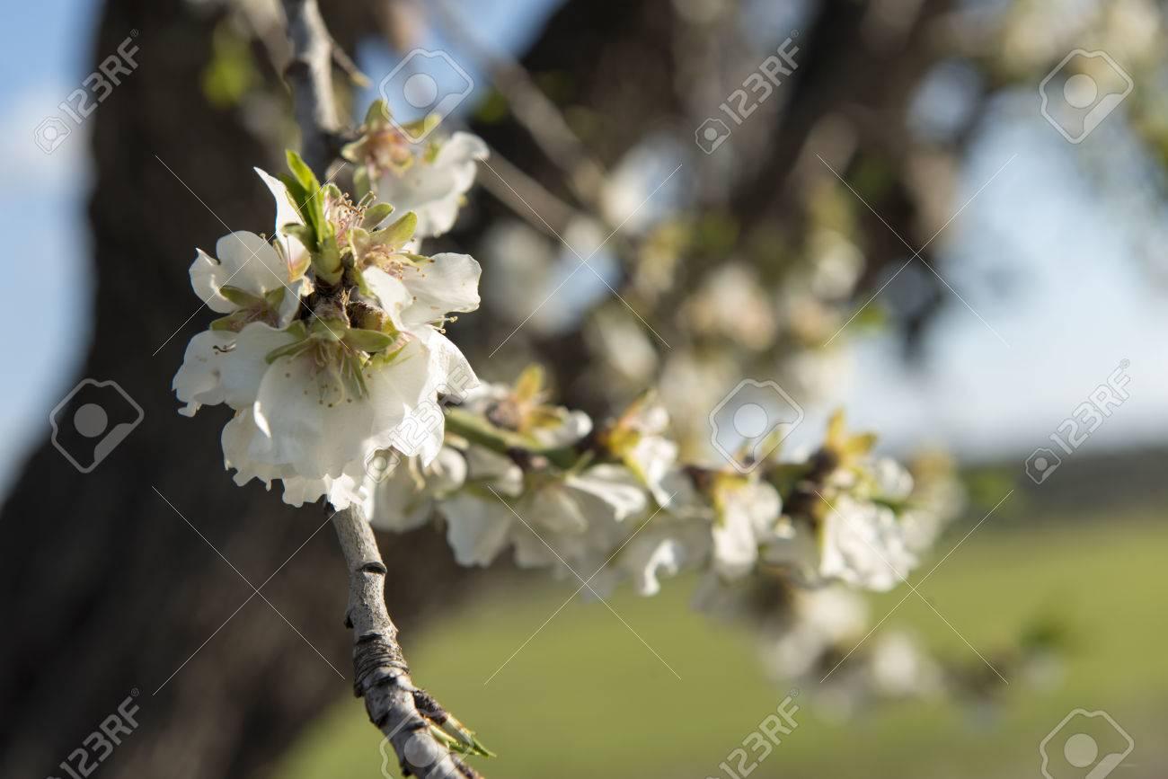 Almendro en flor, Mallorca, Baleares - 27734345