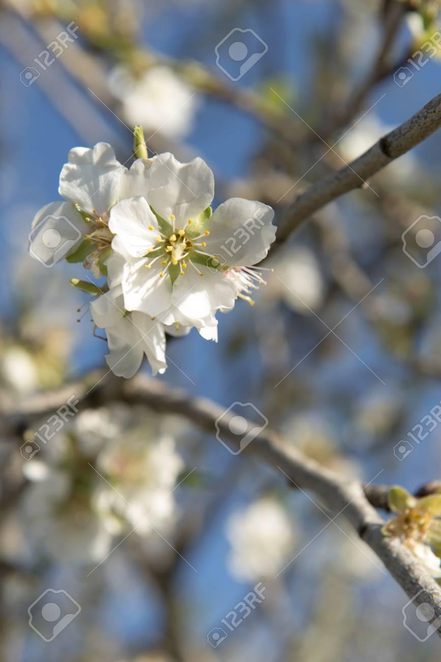 Almendro en flor, Mallorca, Baleares - 27734347