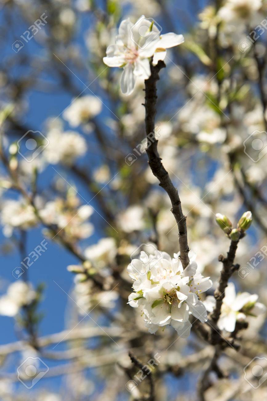 Almendro en flor, Mallorca, Baleares - 27734352