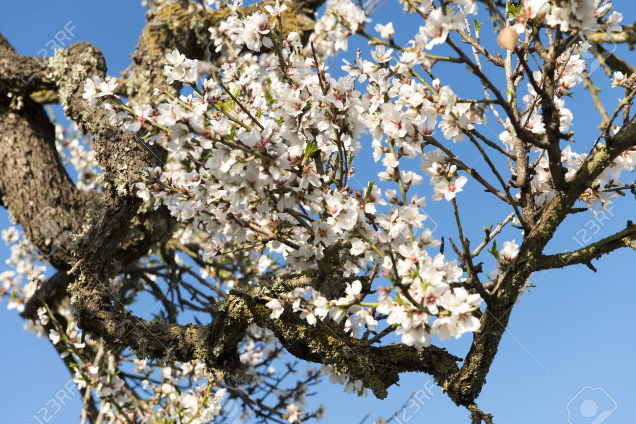 Almendro en flor, Mallorca, Baleares - 27734395