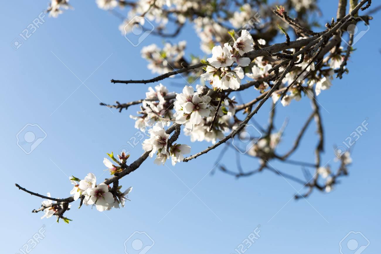 Almendro en flor, Mallorca, Baleares - 27734409