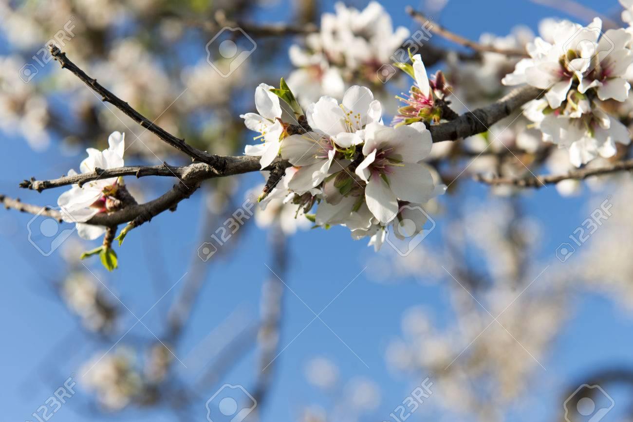 Almendro en flor, Mallorca, Baleares - 27734410