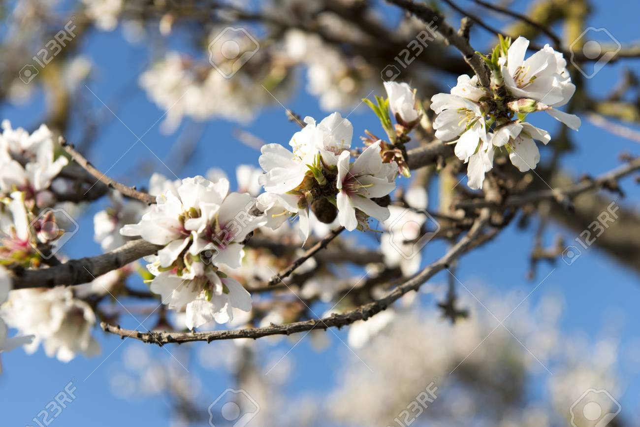 Almendro en flor, Mallorca, Baleares - 27734412