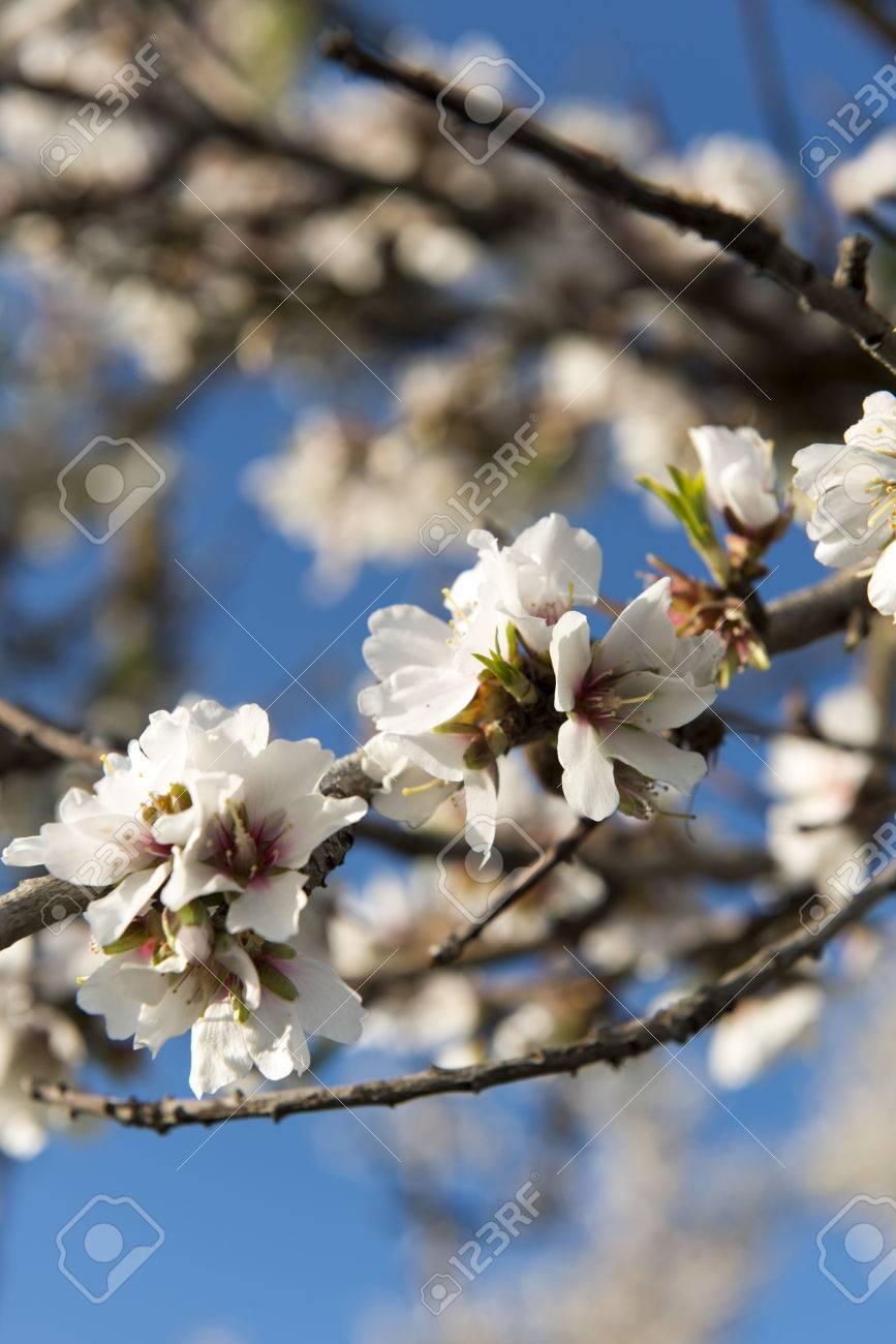 Almendro en flor, Mallorca, Baleares - 27734415