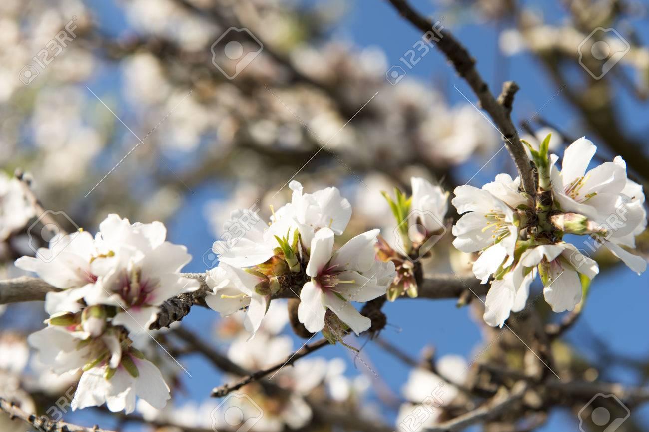 Almendro en flor, Mallorca, Baleares - 27734418