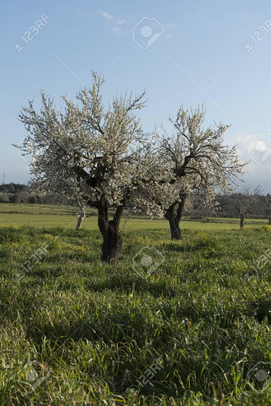 Almendro en flor, Mallorca, Baleares - 27734514