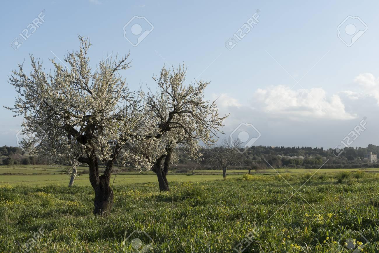 Almendro en flor, Mallorca, Baleares - 27734280