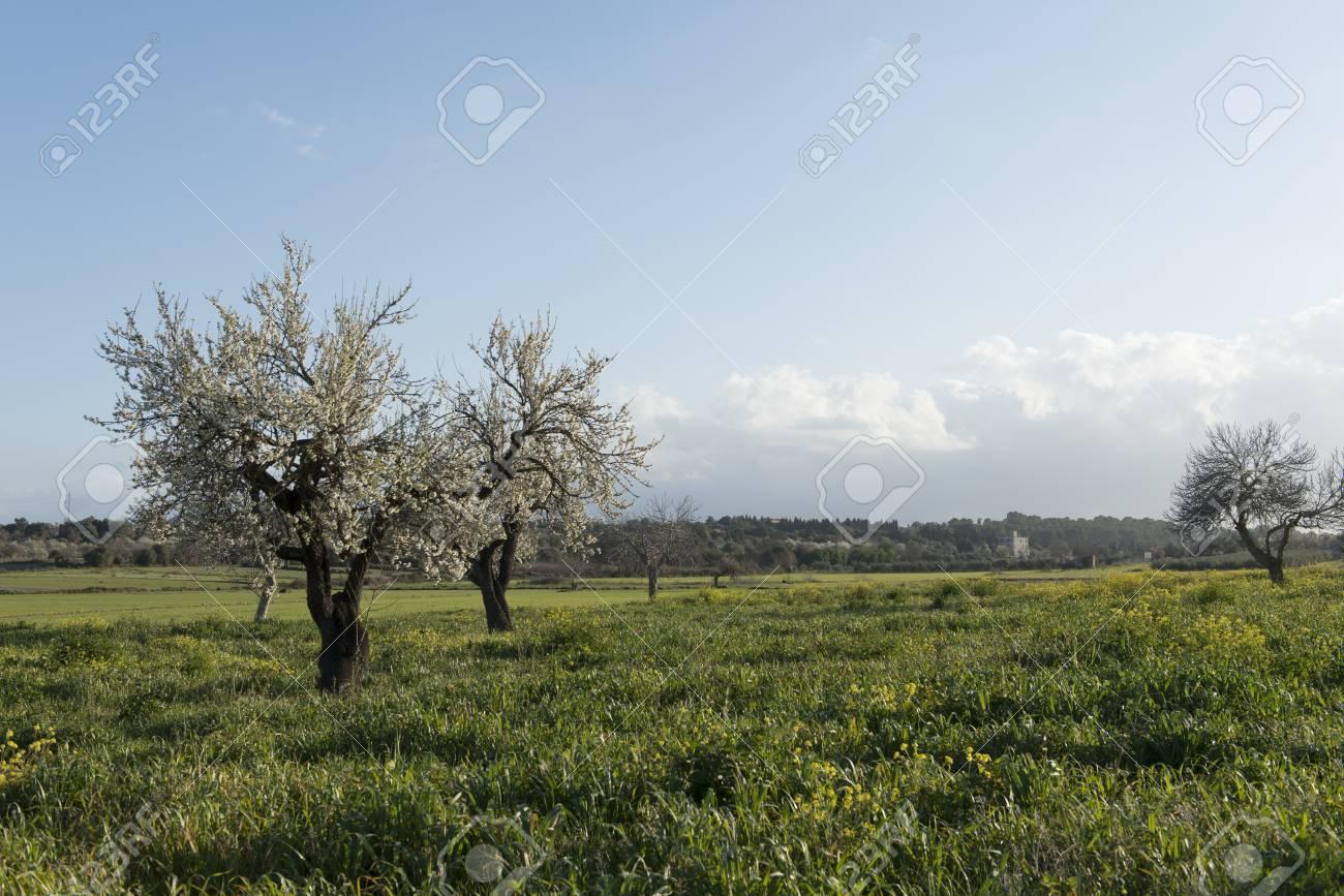 Almendro en flor, Mallorca, Baleares - 27734544