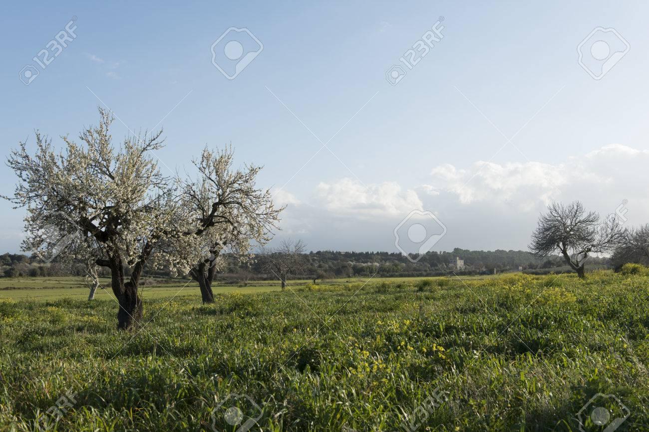 Almendro en flor, Mallorca, Baleares - 27734568