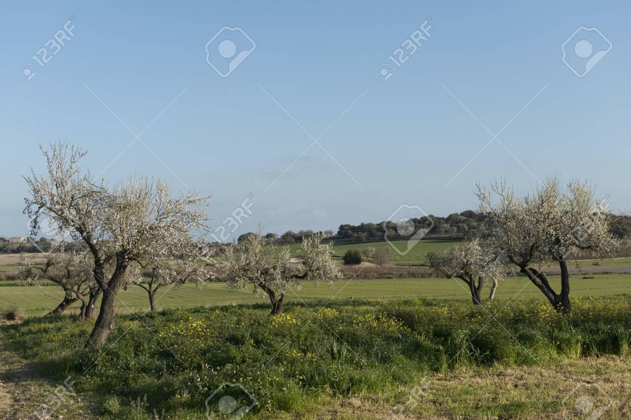 Almendro en flor, Mallorca, Baleares - 27734596