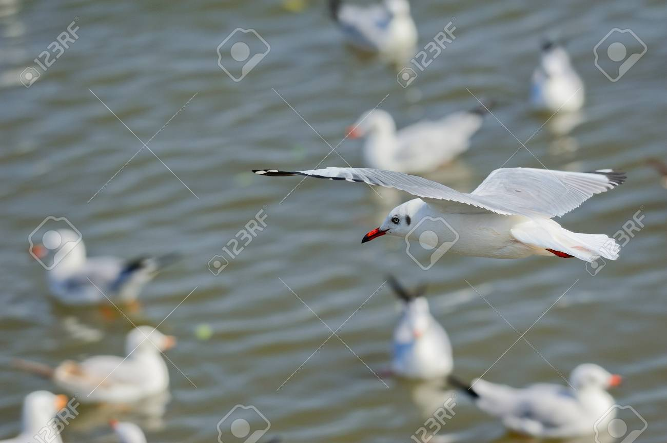 Seagull flying Stock Photo - 12718920