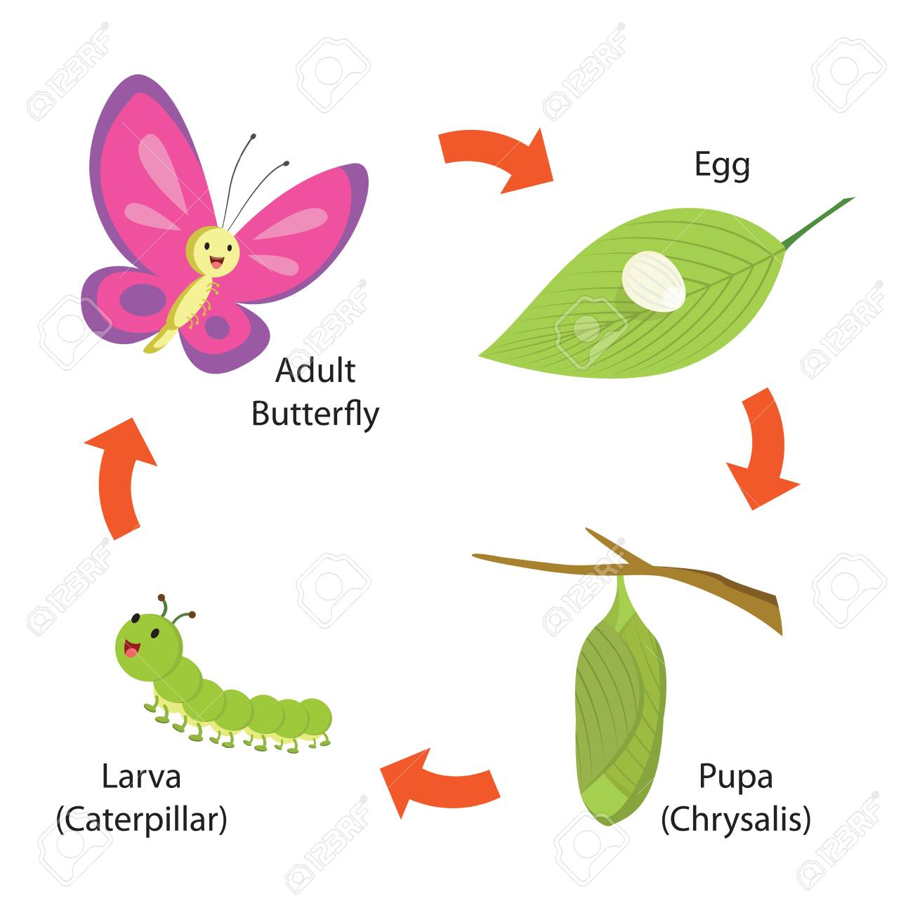 Vector illustration of life cycle of a butterfly - 89001448