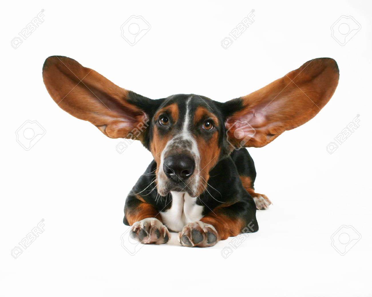 a basset hound with flapping ears Stock Photo - 1914135