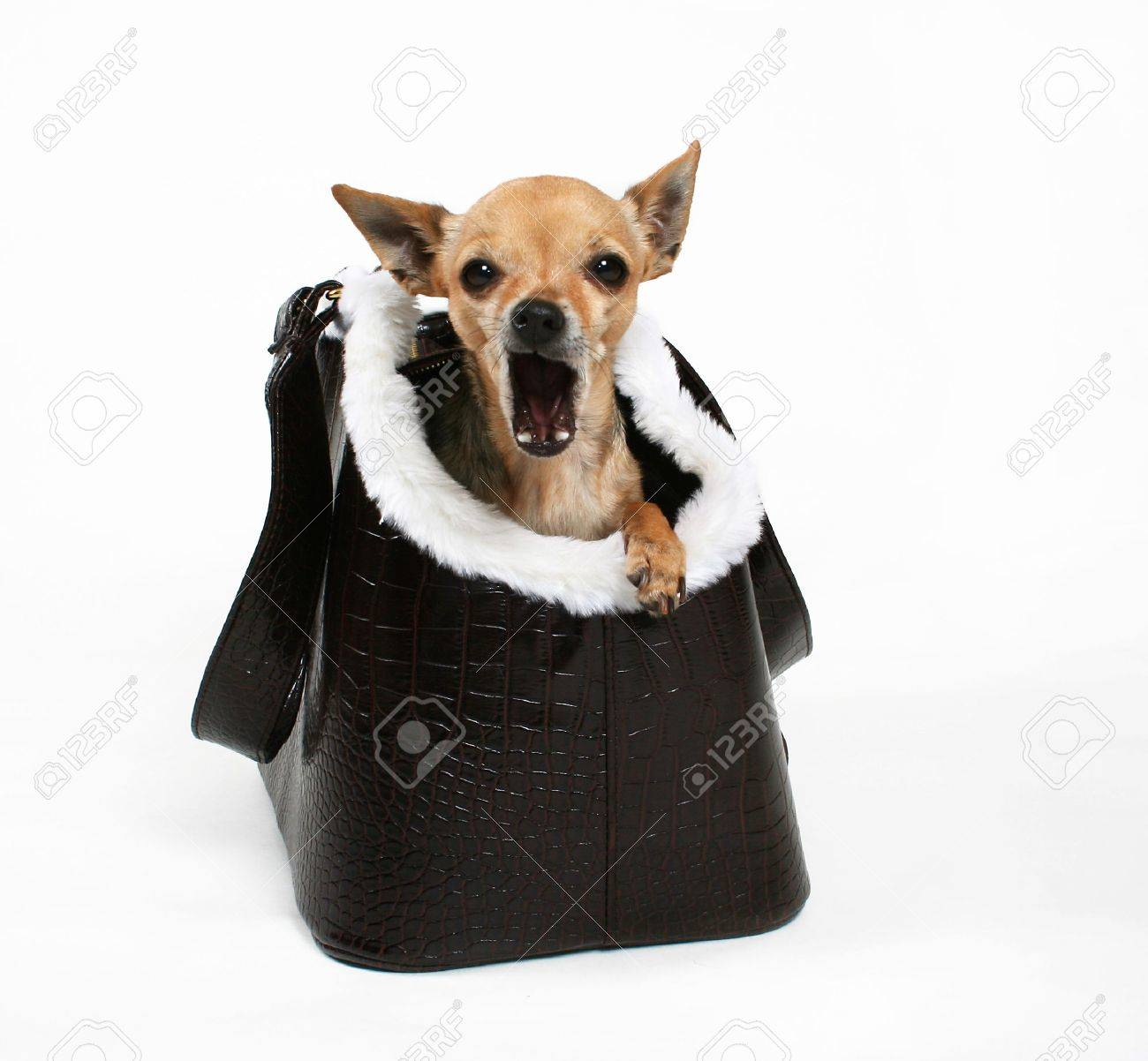 A Tiny Chihuahua In A Bag Or Purse For Dogs Stock Photo, Picture ...