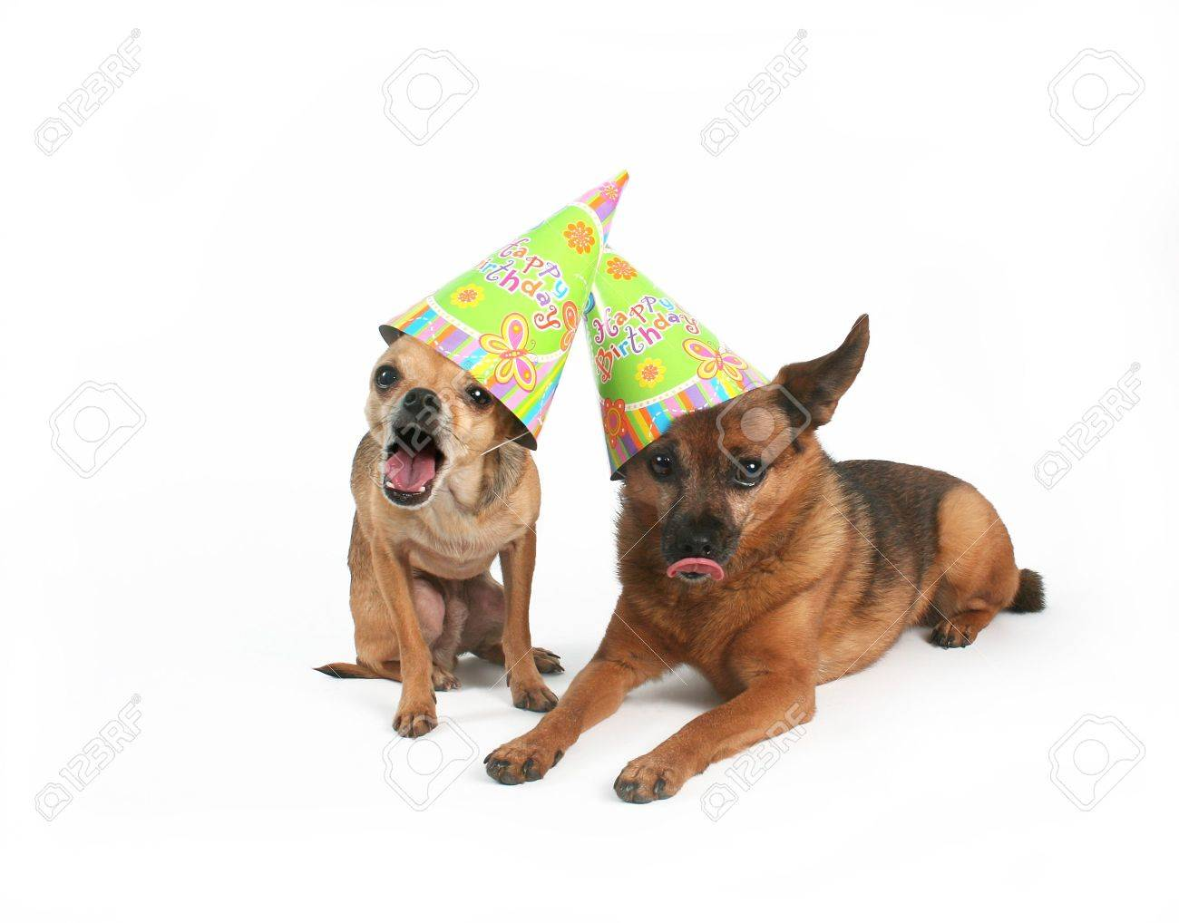 Two Dogs With Birthday Hats On Their Heads Stock Photo Picture And