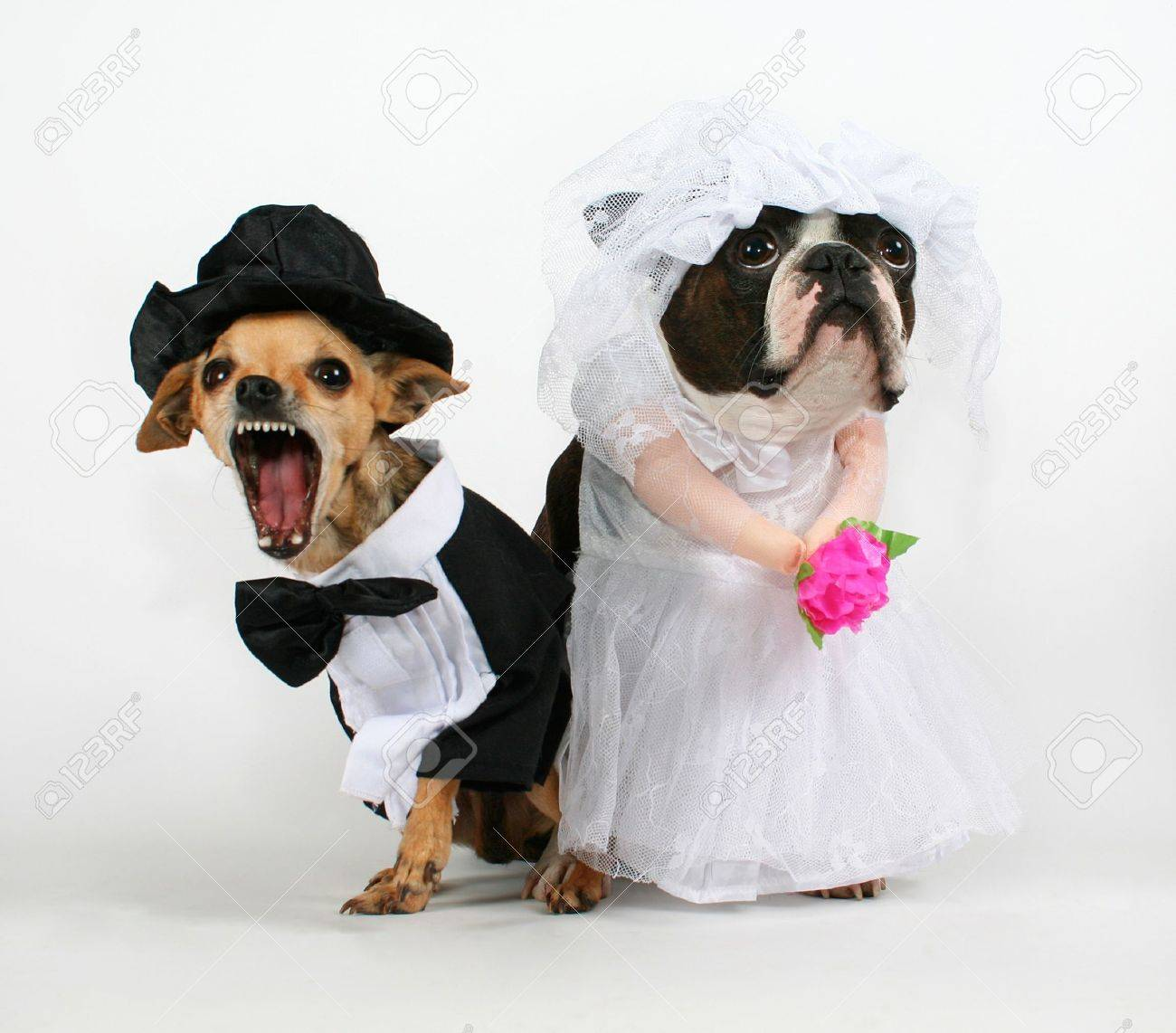 Two Dogs In Wedding Attire Looking Upset Stock Photo, Picture And ...