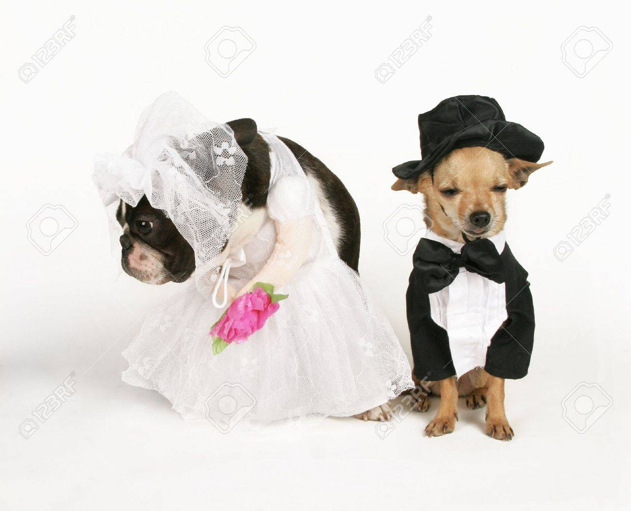 Two Dogs In Wedding Attire Getting Married Stock Photo, Picture And ...