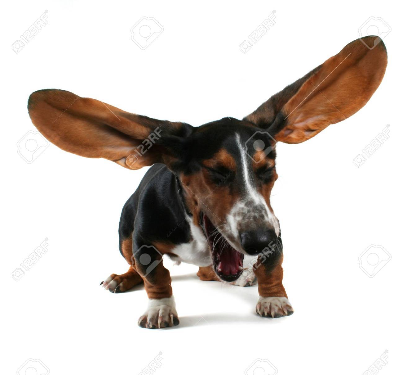 a  basset hound yawning with big ears Stock Photo - 3539334