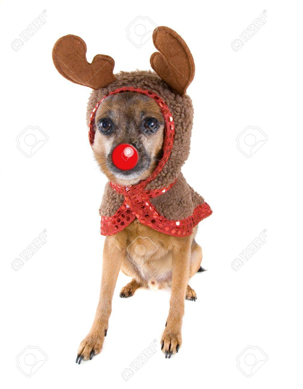 A Chihuahua Mix Dressed As A Reindeer Stock Photo Picture And