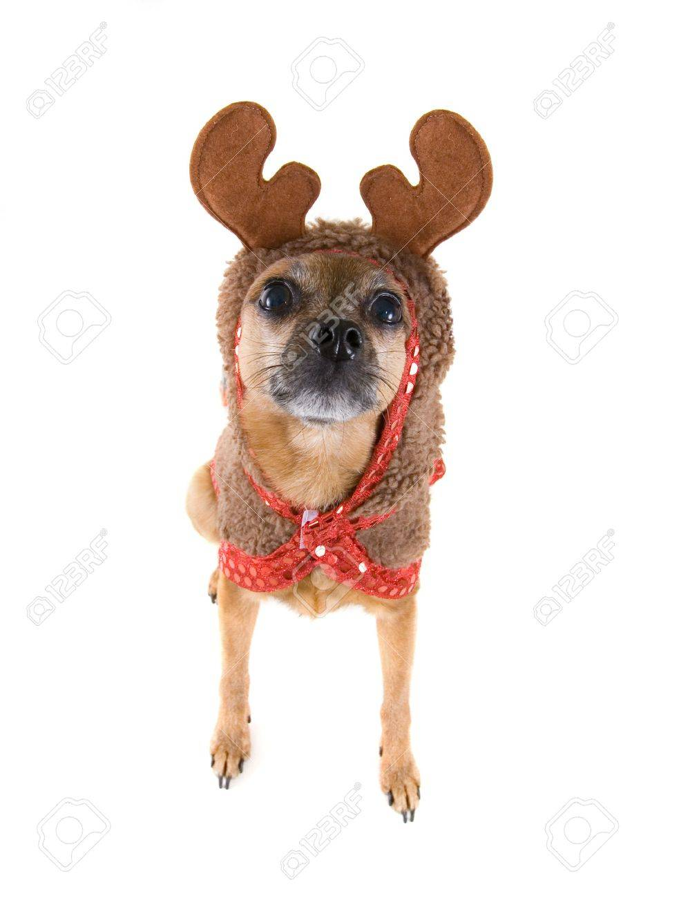 A Chihuahua Mix Dressed Up As A Reindeer Stock Photo Picture And