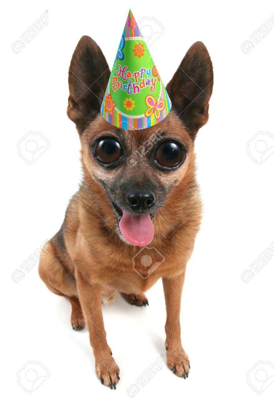 A Small Dog With Birthday Hat On Stock Photo