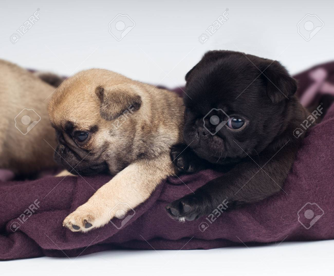 Two Cute Purebred Pugs Puppies Lying Mat Stock Picture
