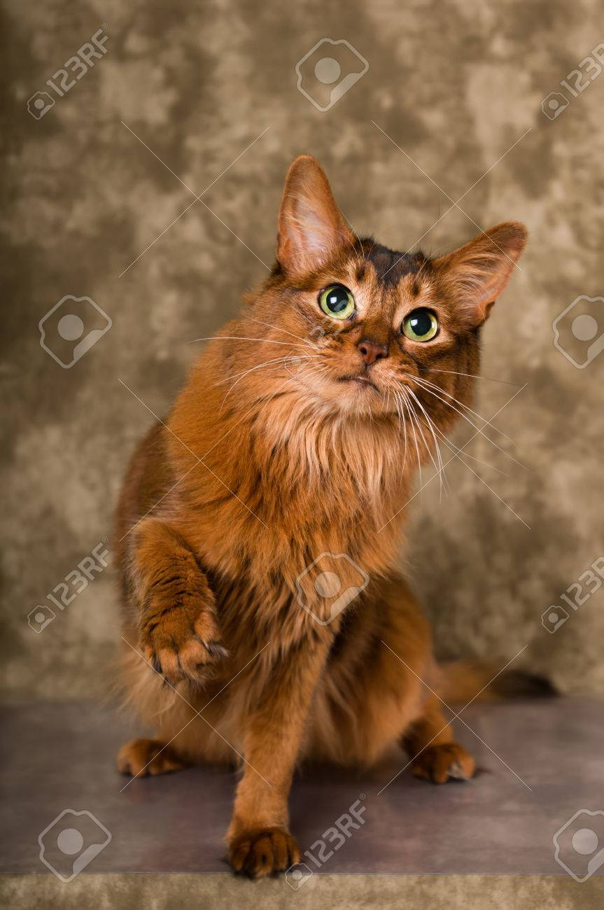 Cute somali cat studio snapshot asking with paw and looking at cute somali cat studio snapshot asking with paw and looking at camera greeting stock photo m4hsunfo