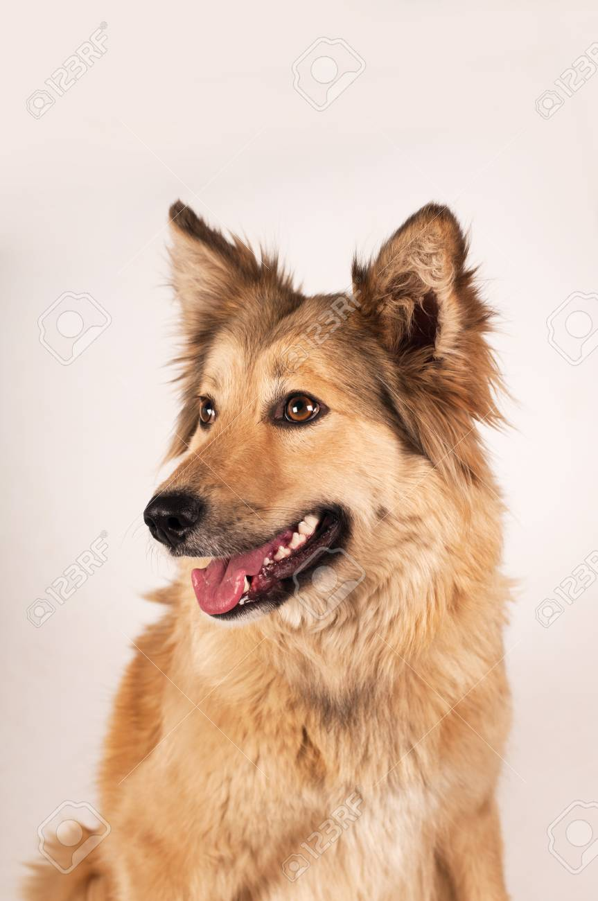 Portrait Of Mixed Breed Dog Beige Color With Big Ears And Semi