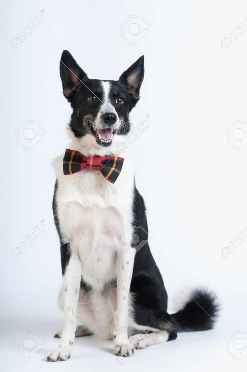 Mischbrut Schwarz Weiß Hund Im Studio Sitzen Porträt Auf Weißem