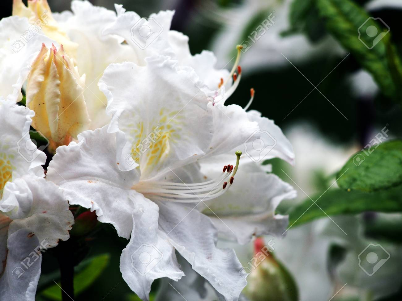 White Azalea Rhododendron In The Park Spring Stock Photo Picture