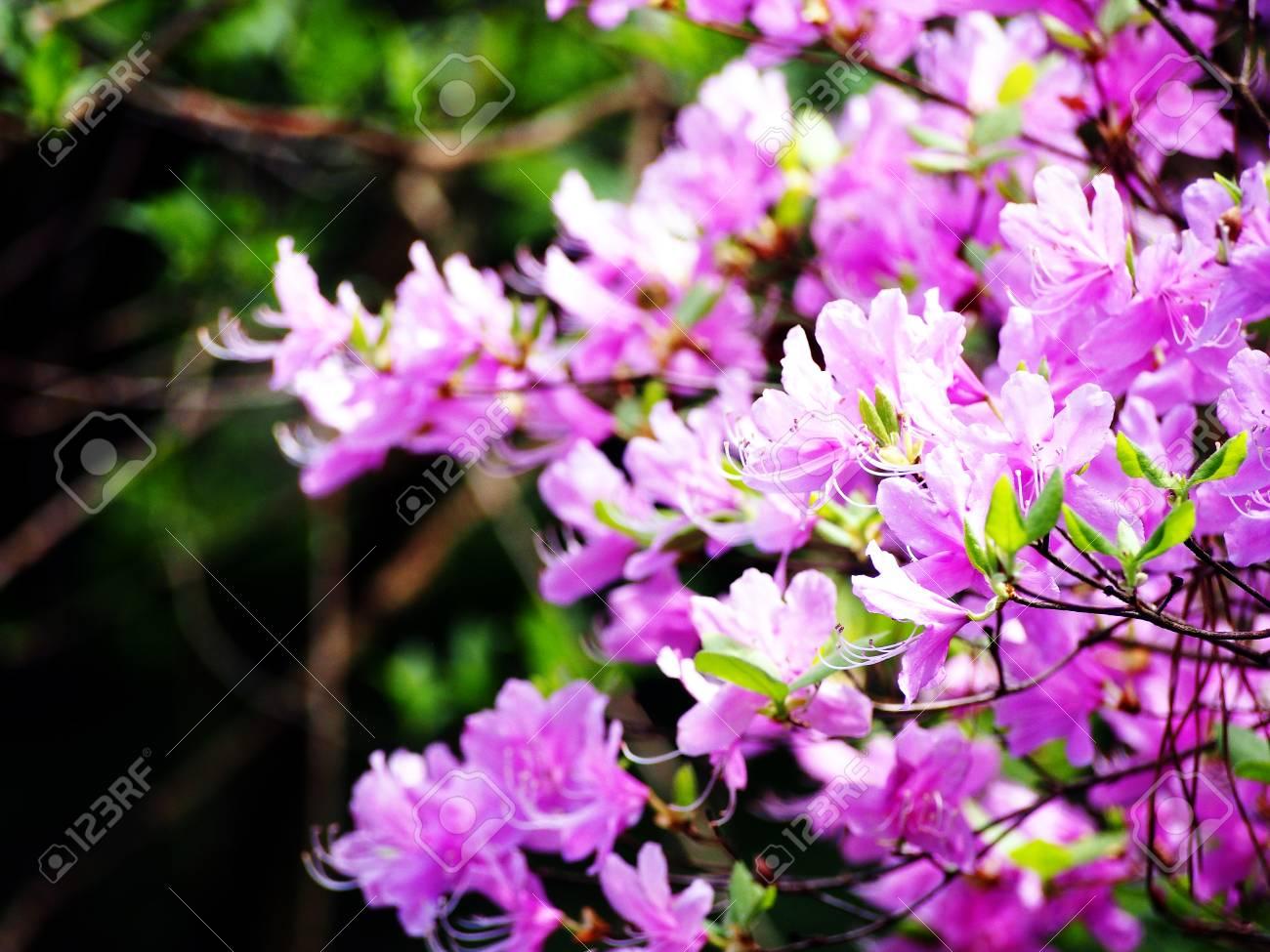 コバノミツバツツジ , 紫ツツジ 写真素材 , 62544983