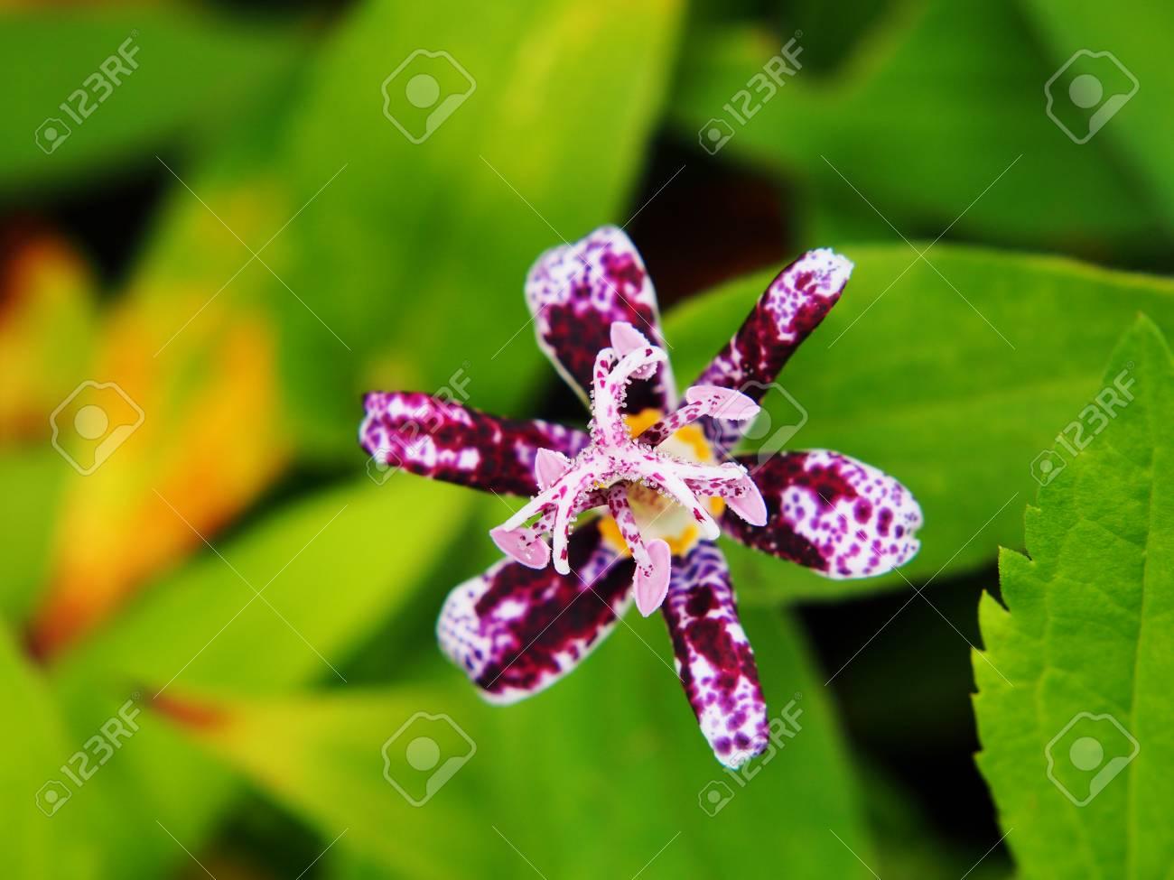 Tricyrtis hirta hairy toad lily stock photo picture and royalty tricyrtis hirta hairy toad lily stock photo 62545266 izmirmasajfo