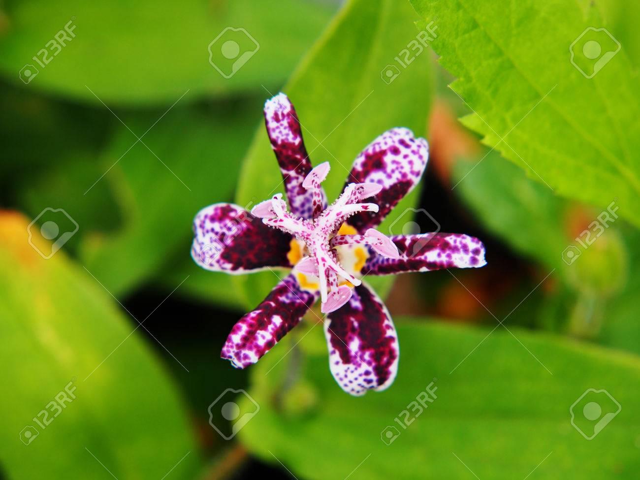 Tricyrtis hirta hairy toad lily stock photo picture and royalty tricyrtis hirta hairy toad lily stock photo 62537705 izmirmasajfo