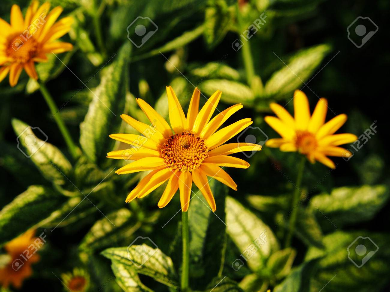 Variegated Leaves And Yellow Flowers False Sunflower Rough