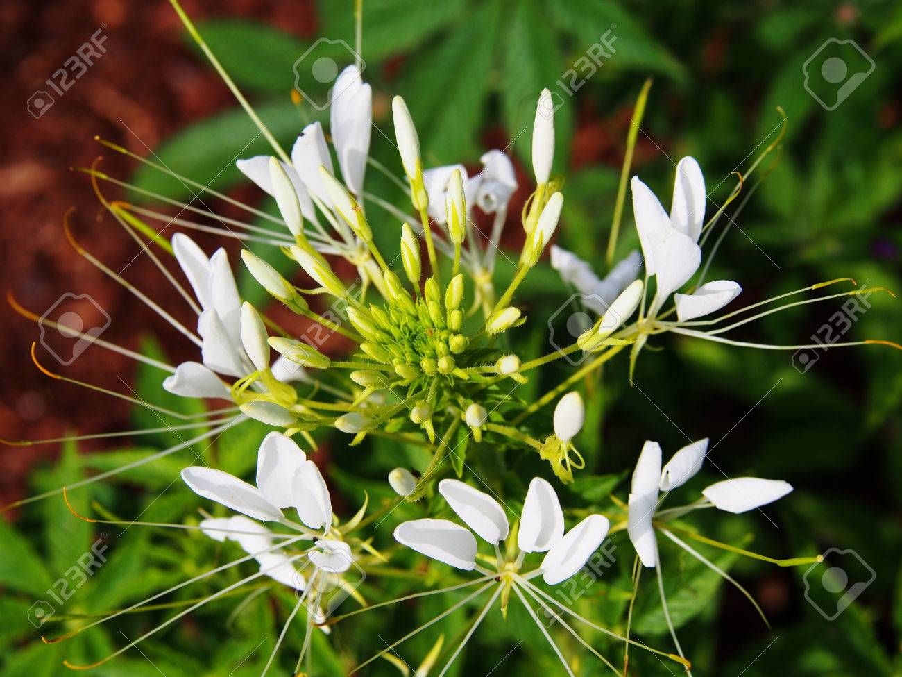White Spider Flower Cleome Spinosa Stock Photo Picture And