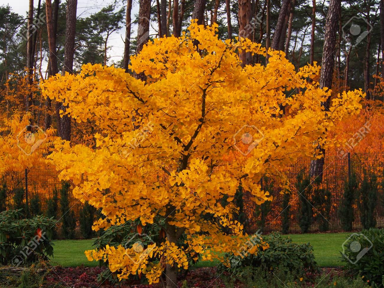 Autumn Shot Of Ginkgo Biloba Maidenhair Tree Stock Photo