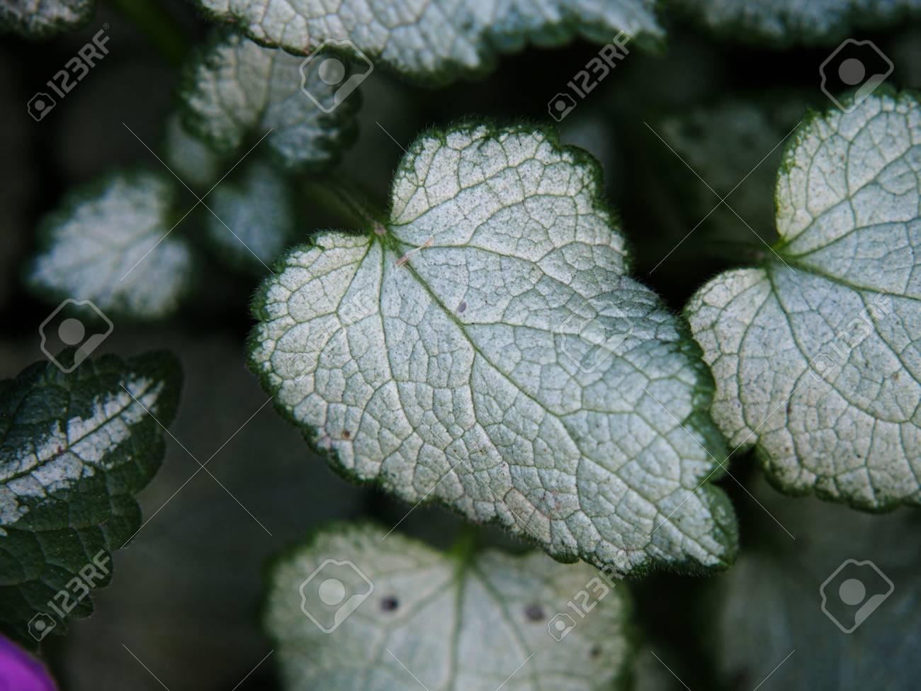 Lamium Maculatum White Nancy Henbit Spotted Spotted Dead Nettle
