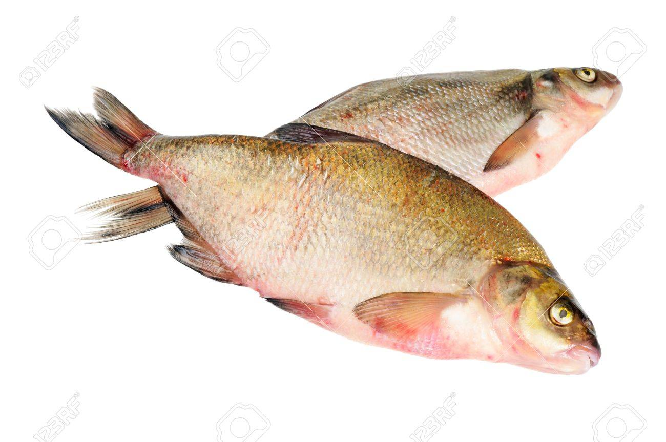 Freshwater fish bream - Two Fresh Freshwater Fish Bream Isolated On White Stock Photo 10720531