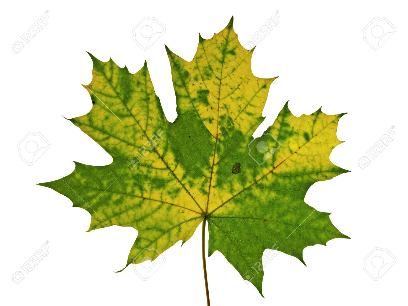 rusty autumnal  texture of maple leaf,isolated on white Stock Photo - 5511816