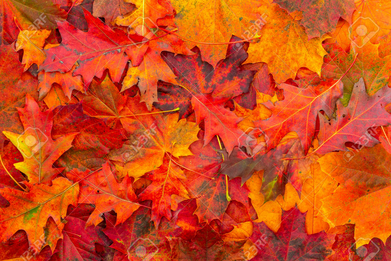 Background of colored autumn leaves. Autumn Leaves Background. - 157220802
