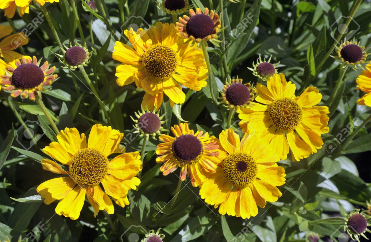 Yellow Daisy Like Flowers Heliopsis Helianthoidestuscan Sun