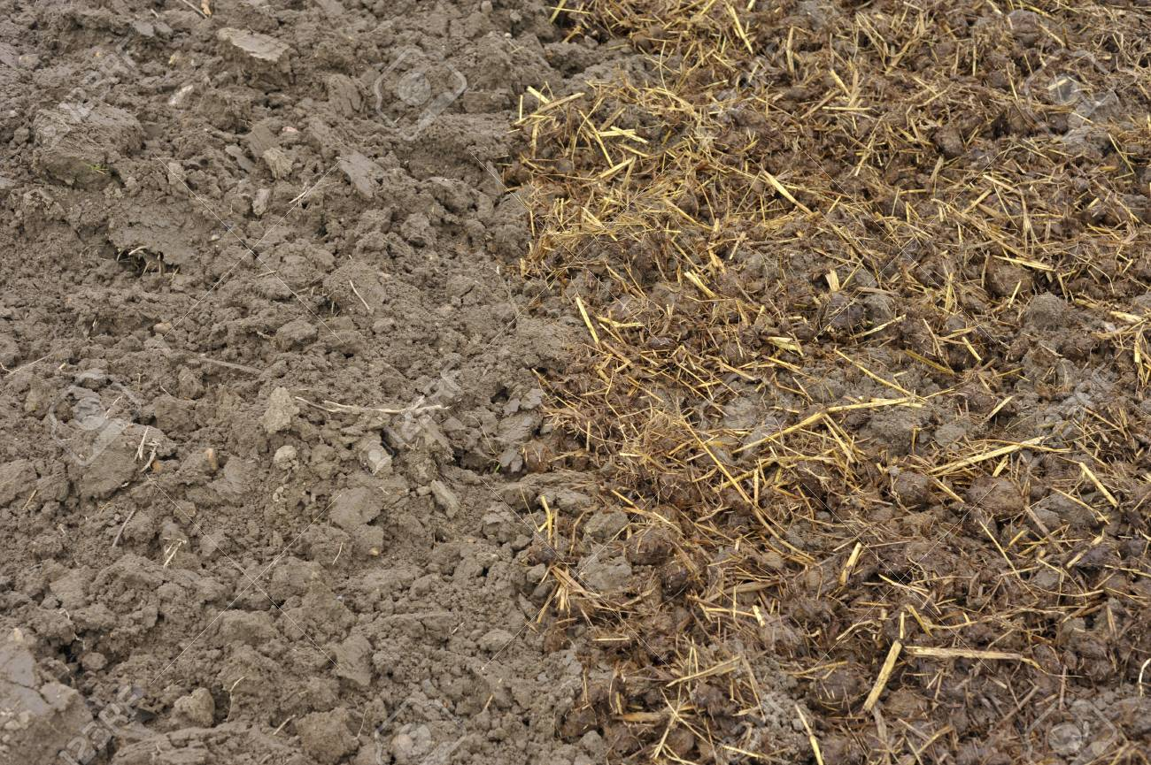 Horse Manure With Straw Bedding Spread Onto Soil In Autumn, Or The Fall, To