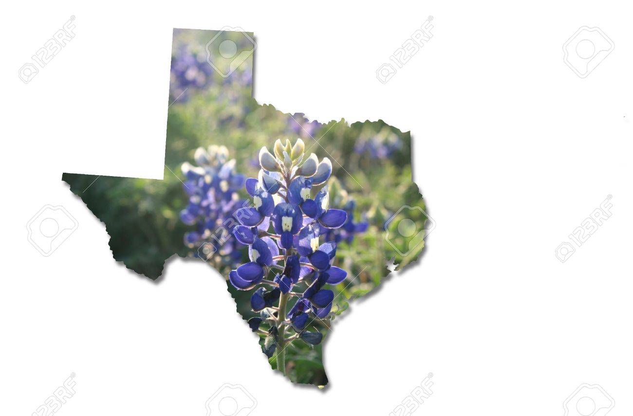 bluebonnet stock photos royalty free bluebonnet images and pictures