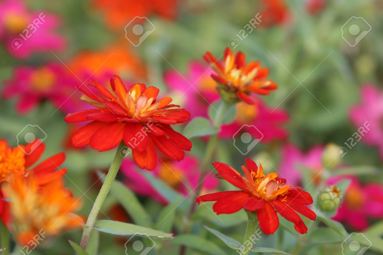 Red Zinnias In Front Of Pink Flowers Stock Photo Picture And