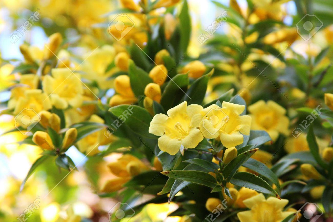 Carolina Jessamine flowers Stock Photo - 12700503