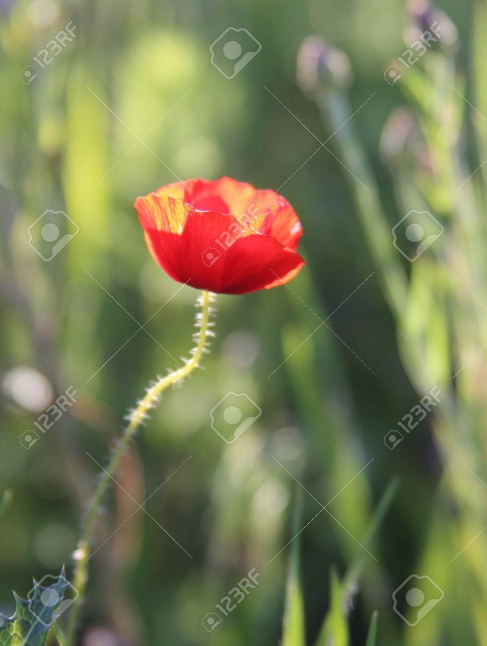 Red poppy in evening sun Stock Photo - 12929919