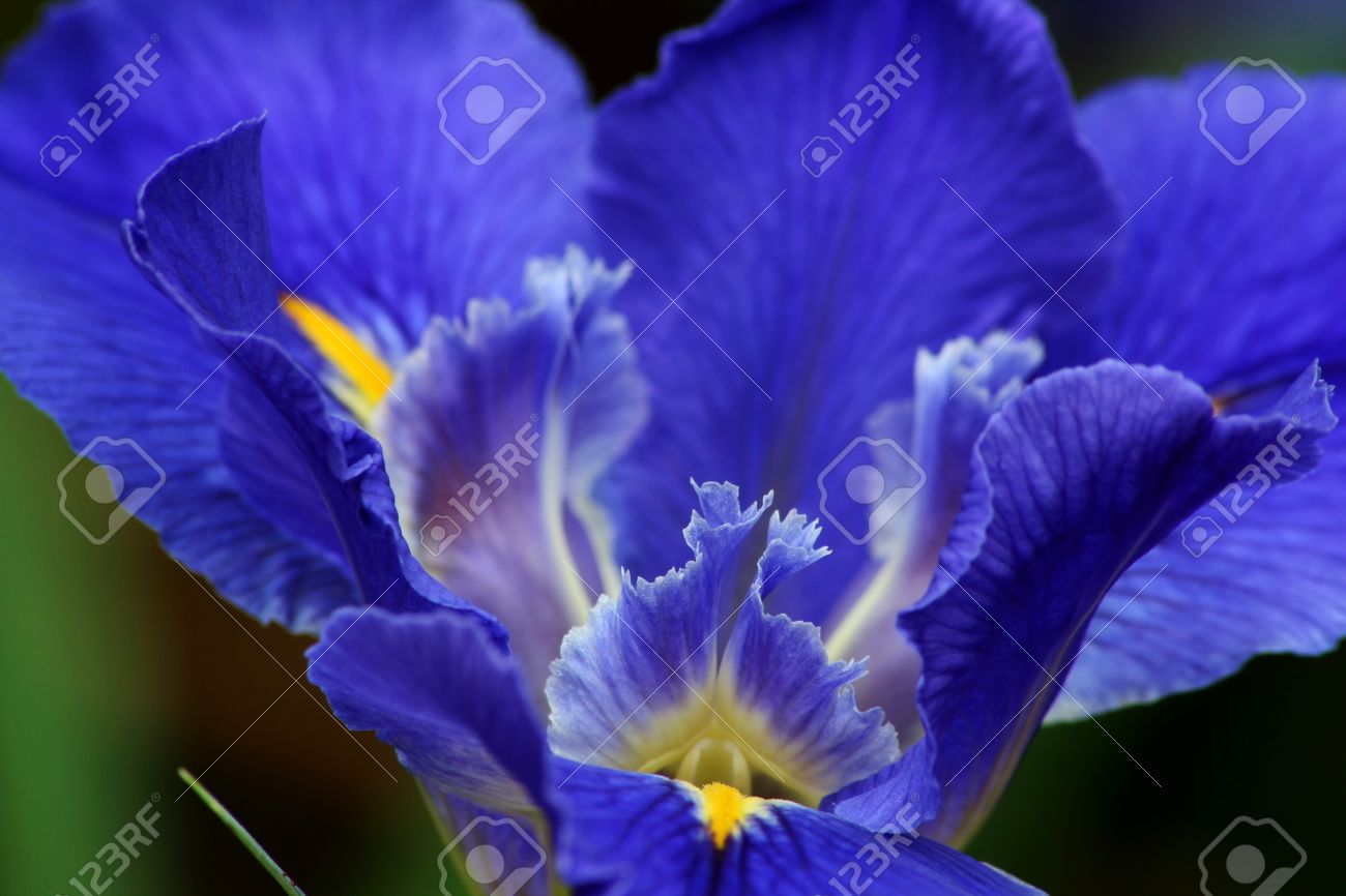 Close up of blue iris flower stock photo picture and royalty free close up of blue iris flower izmirmasajfo Image collections