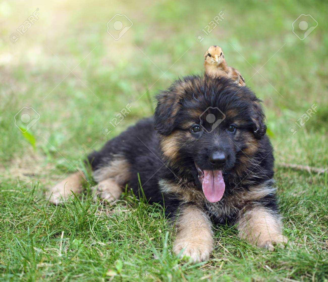 Small German Shepherd Puppy With Chick On Head